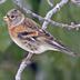 Winter plumage male. Note: darkly marked cheek.