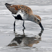 Breeding plumage. Note: black belly and reddish back.