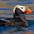 Breeding plumage adult