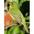 Female. Note; greenish yellow body.