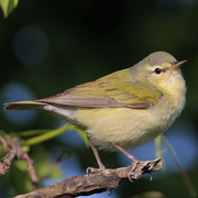 Female. Note: pale undertail coverts, greenish back contrasting from gray cap, pale underside (more buffy than male), and pale supercilium.