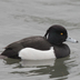 Male. Note: long tuft, and black back contrasting with pure, white flanks